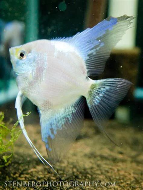 smokey angelfish philippine blue angelfish angelfish