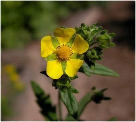 Potentilla inclinata (ashy cinquefoil): Go Botany