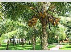 Cabinet approves tree status for Coconut 'palm ' Digital Goa