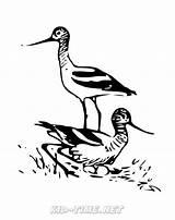 Avocet Coloring Birds Animals Sheet sketch template