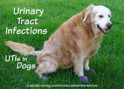 Urinary Tract Infections: UTIs in Dogs - Golden Woofs