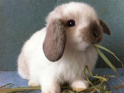 best pet rabbit type 8 of the best pet rabbit breeds pethelpful