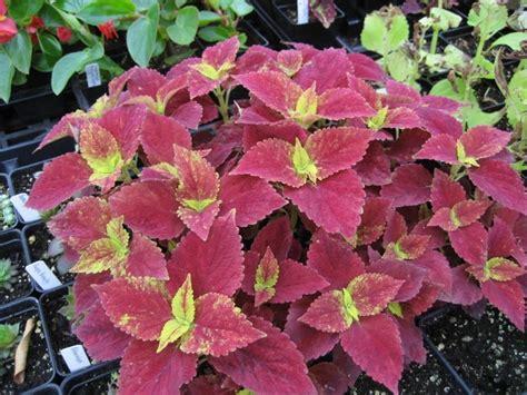 different varieties of coleus 1000 images about coleus varieties on pinterest