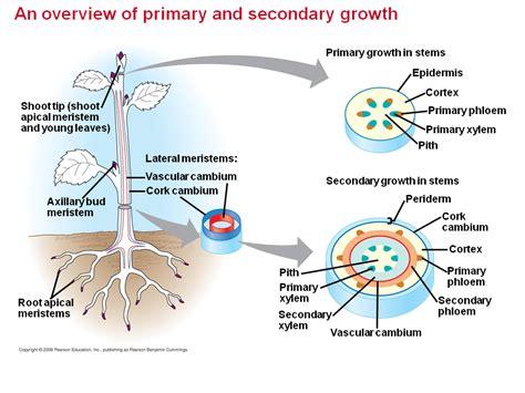 vascular cambium  secondary vascular tissue
