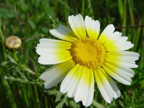 les fleurs comestibles en cuisine fleurs comestibles profitez de leurs beautés au jardin