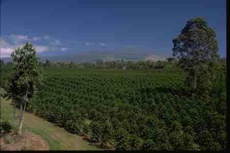 415 x 332 jpeg 48 кб. Best Hawaiian Coffee Plantation   DIABETES CONTROL VIEW EUROREEFERS