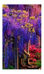 Blue And Pink Wisteria Tree Flower Desktop Wallpaper Hd ...