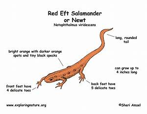 Salamander  Red Eft Or Newt