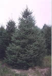 White Spruce Tree Growth Rate