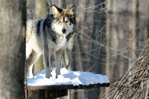 thesis wolf essay on gray wolves