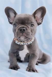 Best 25+ Blue french bulldog puppies ideas on Pinterest ...