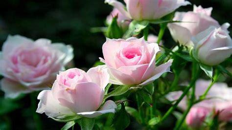 bunga mawar putih buat pacar koleksi bunga hd