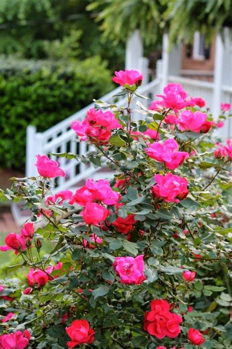 shrubs that bloom all summer knockout roses will bloom all summer which makes them one of my favorite garden shrubs malinda