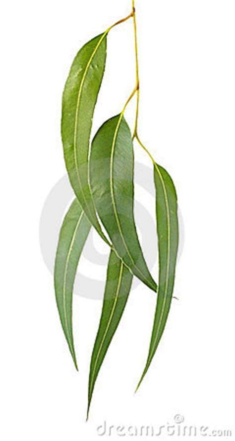gum leaves royalty  stock images image