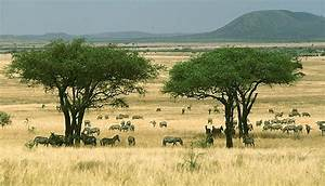 This Is A Typical Picture Of A Savanna Biome It Is Mostly