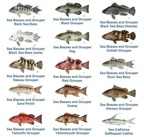 grouper fish florida species fishing snapper keys bass sea chart gag scamp panama reopens yellowfin hind yellowmouth catching rock floridakeystreasures