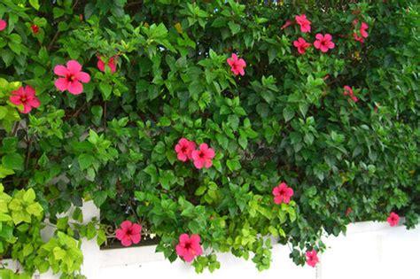 cuisine de fou haie d 39 hibiscus photo de voyage fabrizzio le jardinier