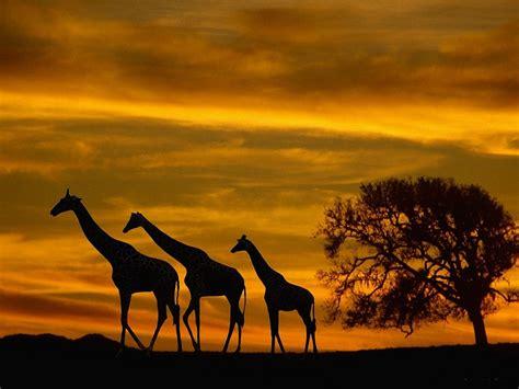 188 Giraffe Hd Wallpapers  Background Images Wallpaper