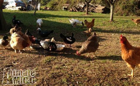vendita animali da cortile vendita anatra da privato a pistoia animali da cortile di