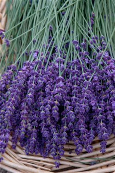 true lavender plants fresh picked lavender for my happy wall please our happy wall pinterest beautiful