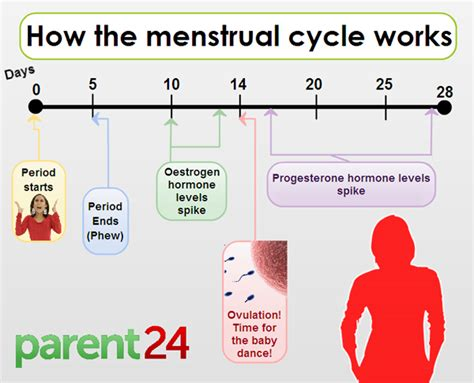 When are you most fertile?