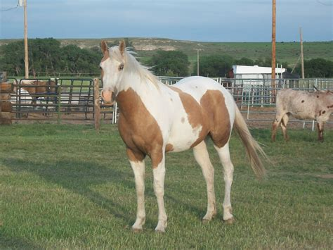 Quarter Horse Mares, Colts and Paint Mares and Colts ...