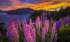 Pink, Flowers, Lupins, Lake, Mountains, Sunset, Red, Sky