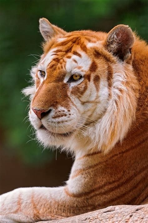 Best Images About Amazing Tigers Pinterest Golden
