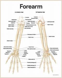Image Result For Skeleton Upper Arm Anatomy