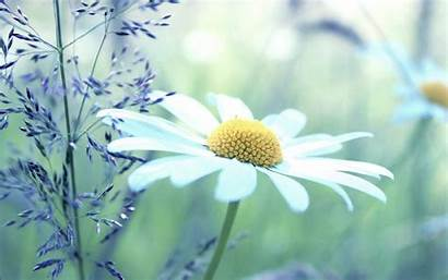 Daisy Wallpapers Background Flowers Flower Screen Yellow