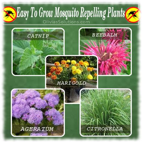 mosquito repelling shrubs easy to grow mosquito repellent plants