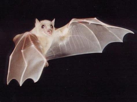 Albino Bats