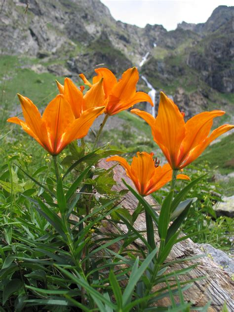 File Ee  Lilium Bulbiferum Ee   Alpine Jpg Wikimedia Commons