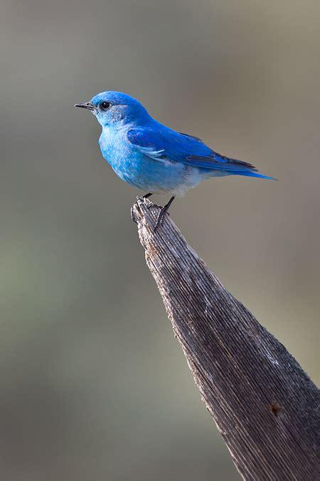 mountain bluebird a slice of western sky lee rentz