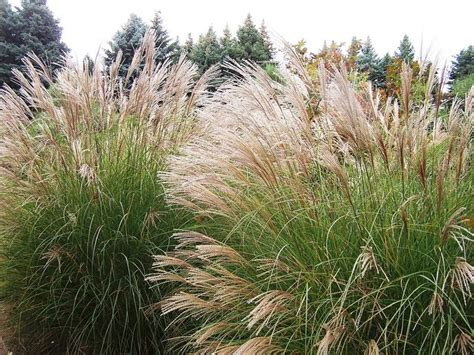 what ornamental grasses are perennials ornamental grasses are nearly perfect perennials