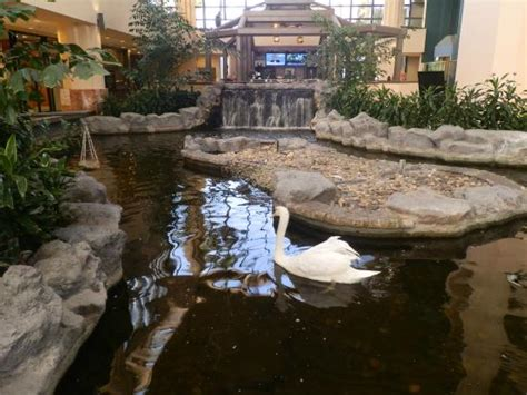 embassy suites palm gardens pond with swans in lobby picture of embassy suites by