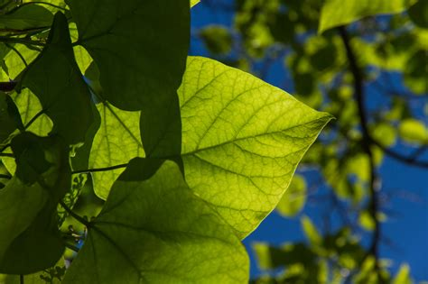 baum stecklinge ziehen trompetenbaum vermehren 187 so ziehen sie stecklinge