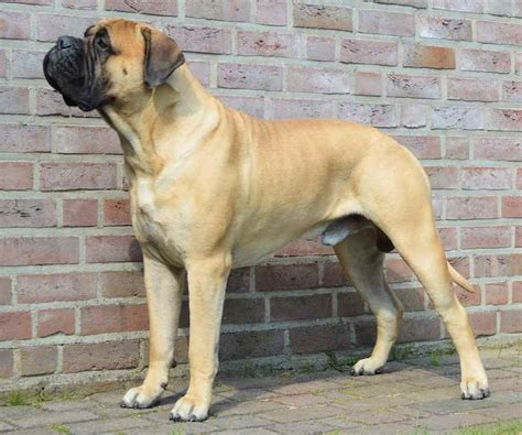 best guard dogs best guard dog breed for family breed dogs spinningpetsyarn
