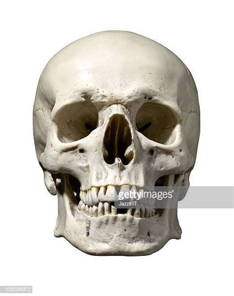 human skull stock   pictures getty images