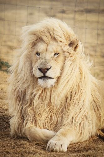 top  lion pictures  whatsapp dp good morning