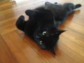 black cat rescue rescue organization saves black cats from prejudice
