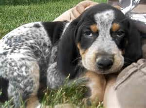 bluetick coonhounds bluetick coonhounds dogs back 66 of 66