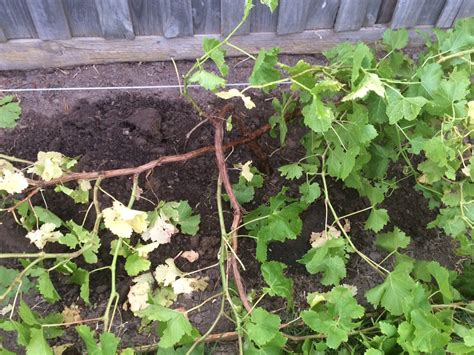 trim grape vines pruning this grape vine during summer gardening landscaping stack exchange