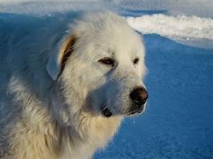 Best dog crate for great pyrenees dogs puppies for Best dog crates for puppies