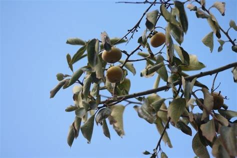 A Persimmon Grows In Brewster Rare Fruit On Cape Cod Wcai