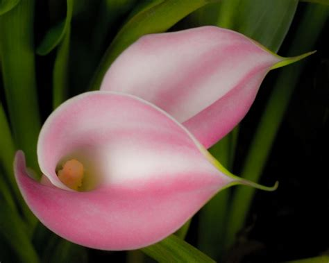 growing calla lilies indoors my favorite flower photography pinterest flower rum and love the