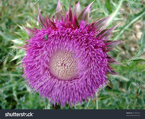 Purple Milk Thistle Flower Genus Silybum Adans Common
