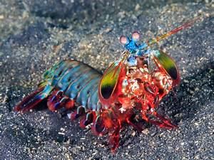 Funky Materials Give The Mantis Shrimp Its Powerful Punch