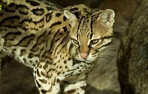 Wallpaper cat, look, ocelot images for desktop, section ...