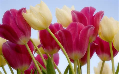 tulips sky wallpapers hd wallpapers id